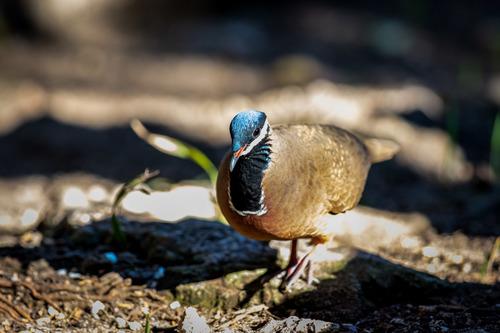 Blue-Headed Quail-Dove (Starnoenas cyanocephala)