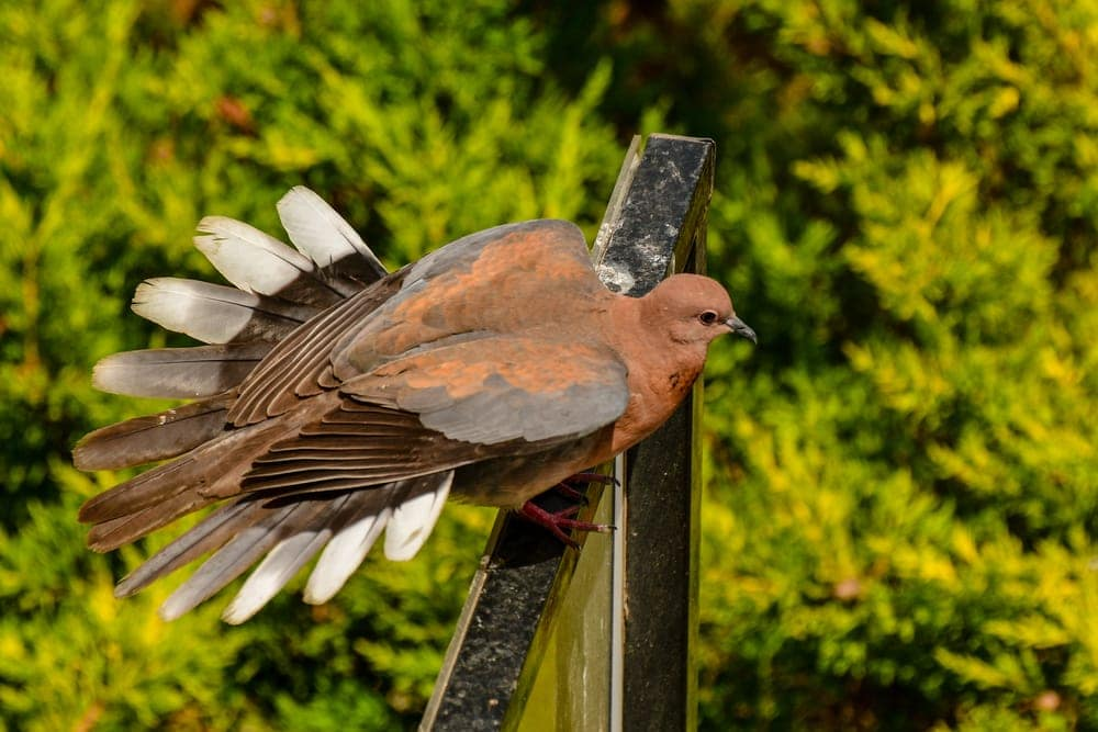 Brown cuckoo-dove (Macropygia phasianella)