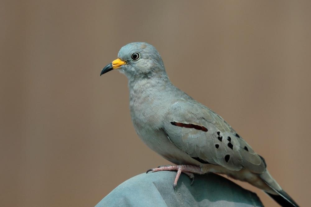 Croaking Ground Dove (Columbina cruziana)