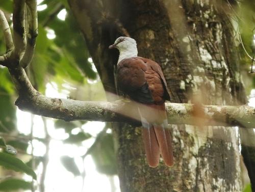 Great Cuckoo-dove (Reinwardtoena reinwardti)