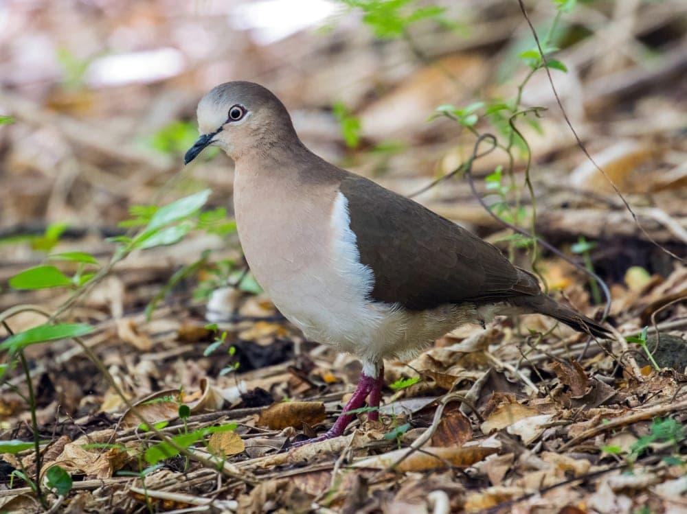 Grenada Dove (Leptotila wellsi) aka Pea Dove and Well's Dove