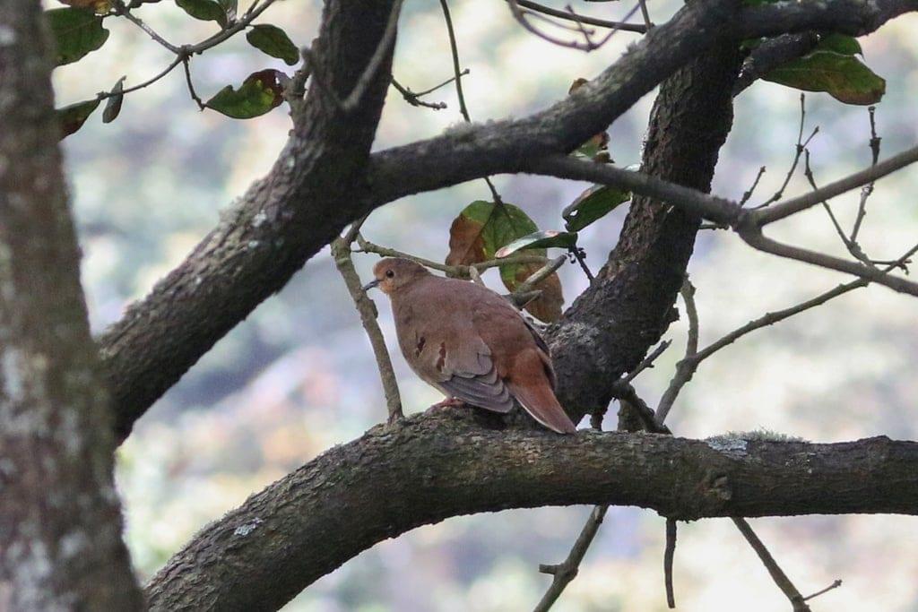 Maroon-Chested Ground Dove (Claravis mondetoura)