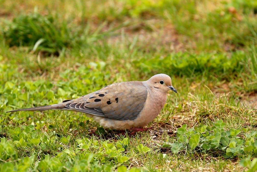 Mourning Dove (Zenaida macroura) aka Rain Dove, Turtle Dove, Carolina pigeon, and Carolina turtledove