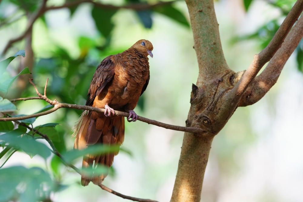 Ruddy Cuckoo-Dove (Macropygia emiliana)