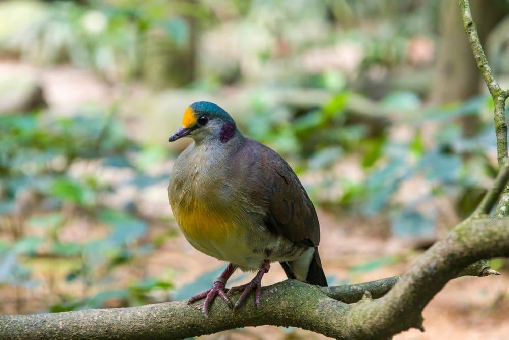 Sulawesi Ground Dove (Gallicolumba tristigmata)