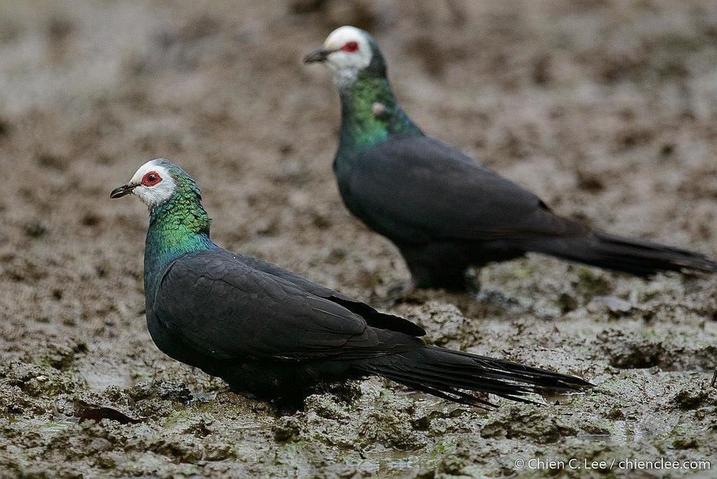 White-Faced Cuckoo-Dove (Turacoena manadensis)