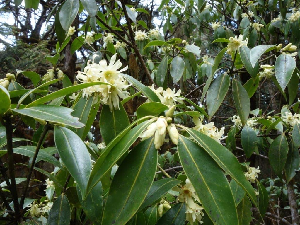 Order Austrobaileyales - Star Anise plant