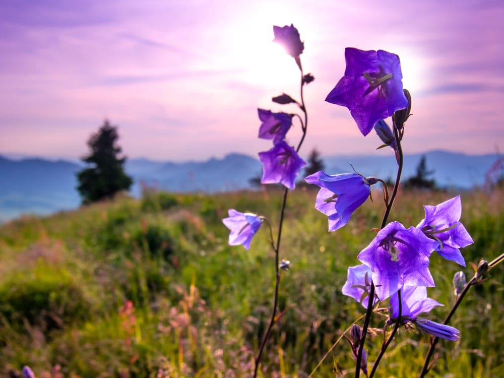 Bellflower plant on top of the mountain with a purple sunset background