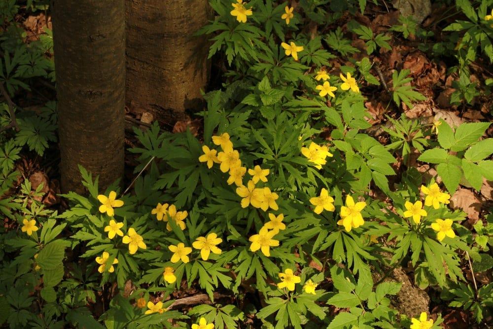 Order Eudicots - Buttercup plants