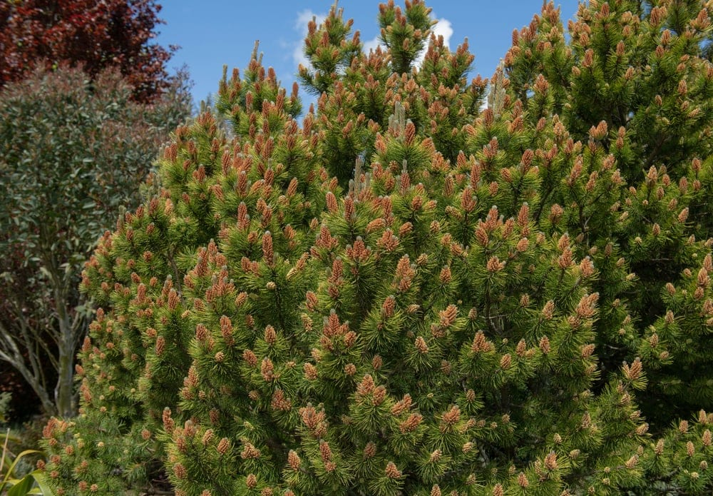 Subclass Pinidae (Conifers)