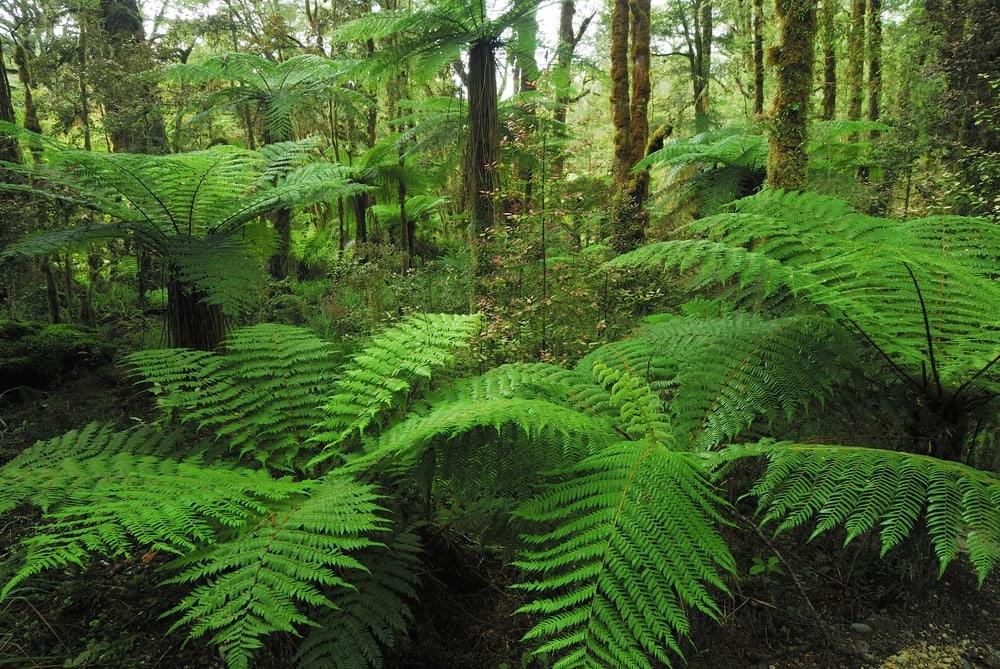 Pteropsida (Ferns)