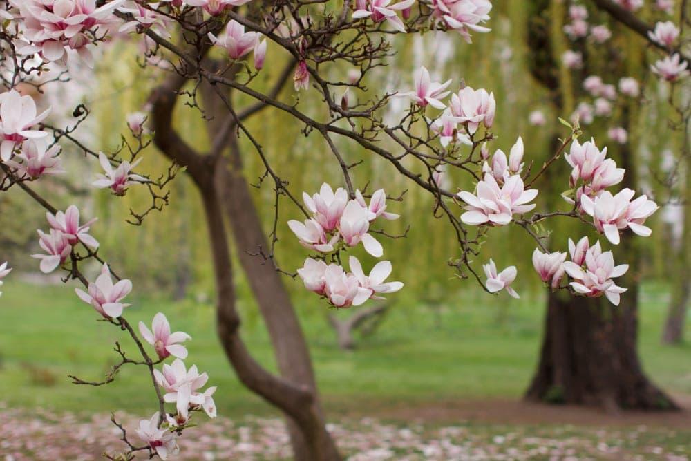 Order Magnoliids - Magnolia plant