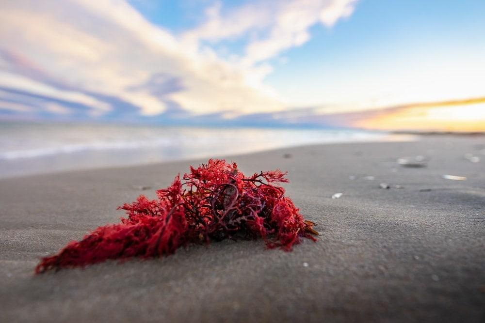 Rhodophyceae (Red algae)