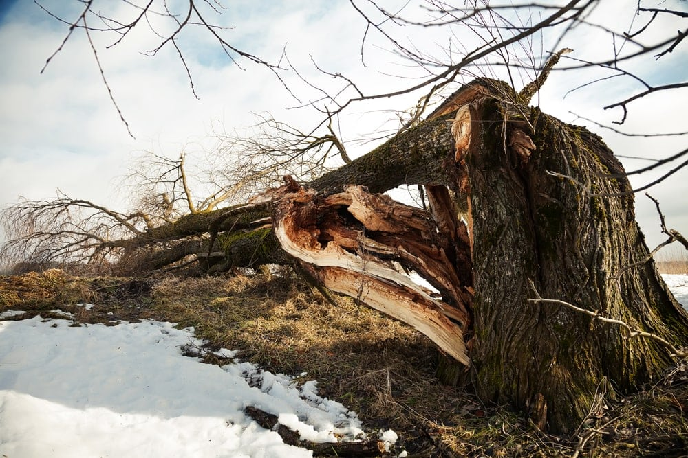 A broken tree fell to the ground in a field from a strong derecho