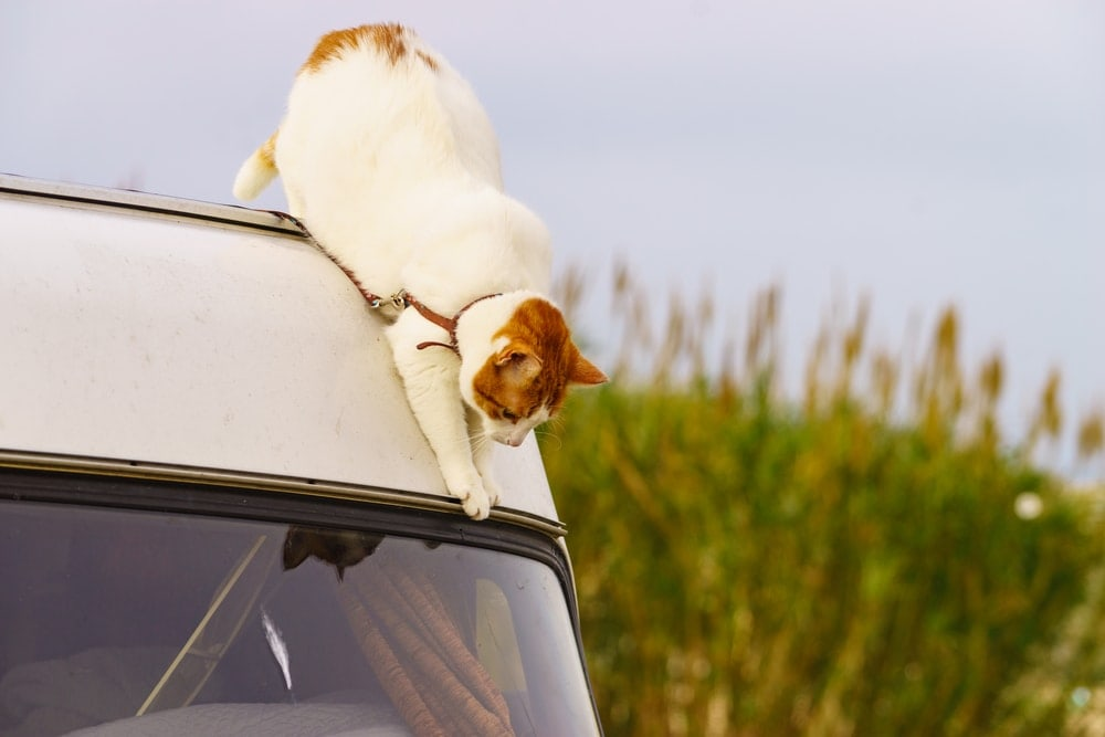 Cat playing on a RV van
