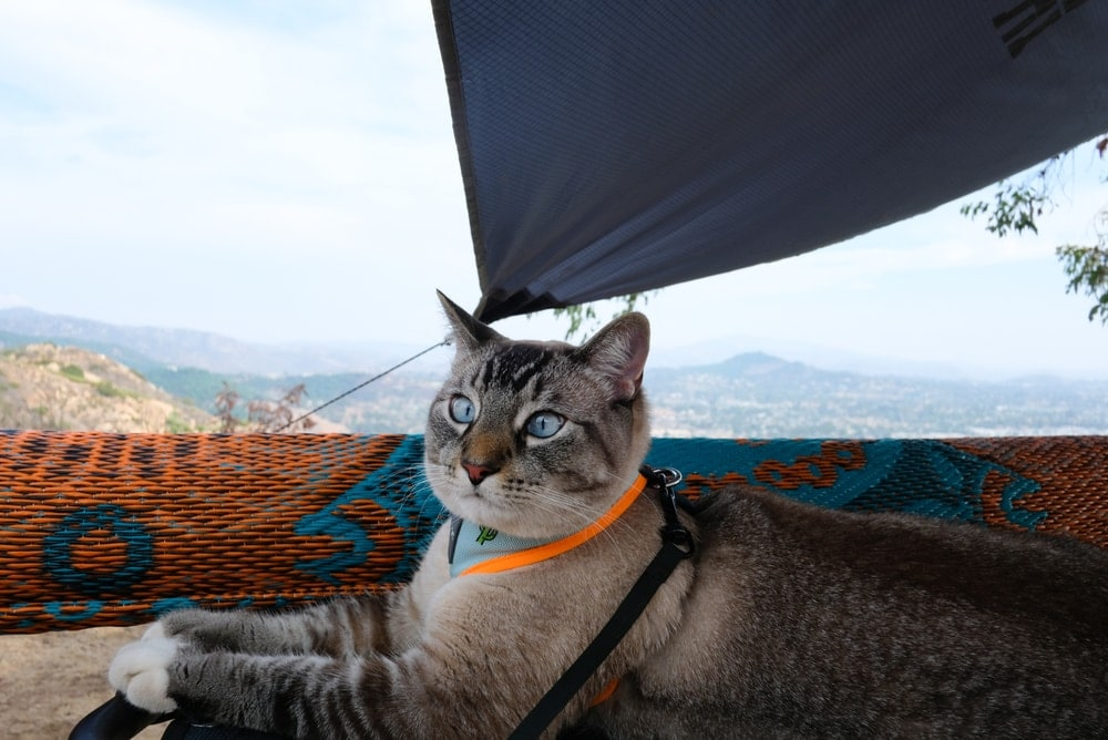 Cat on camping chilling inside a tent with a leash on the neck