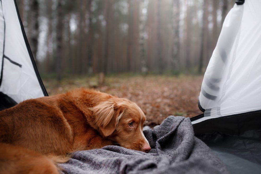 Lying dog in a camping tent in the forest