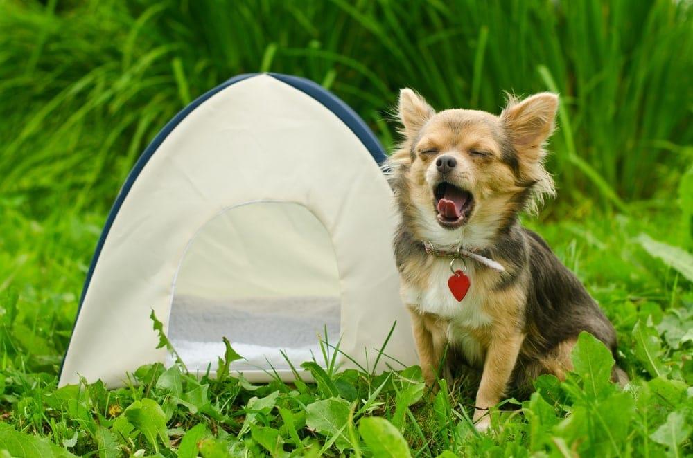 A chihuahua yawning beside a dog tent