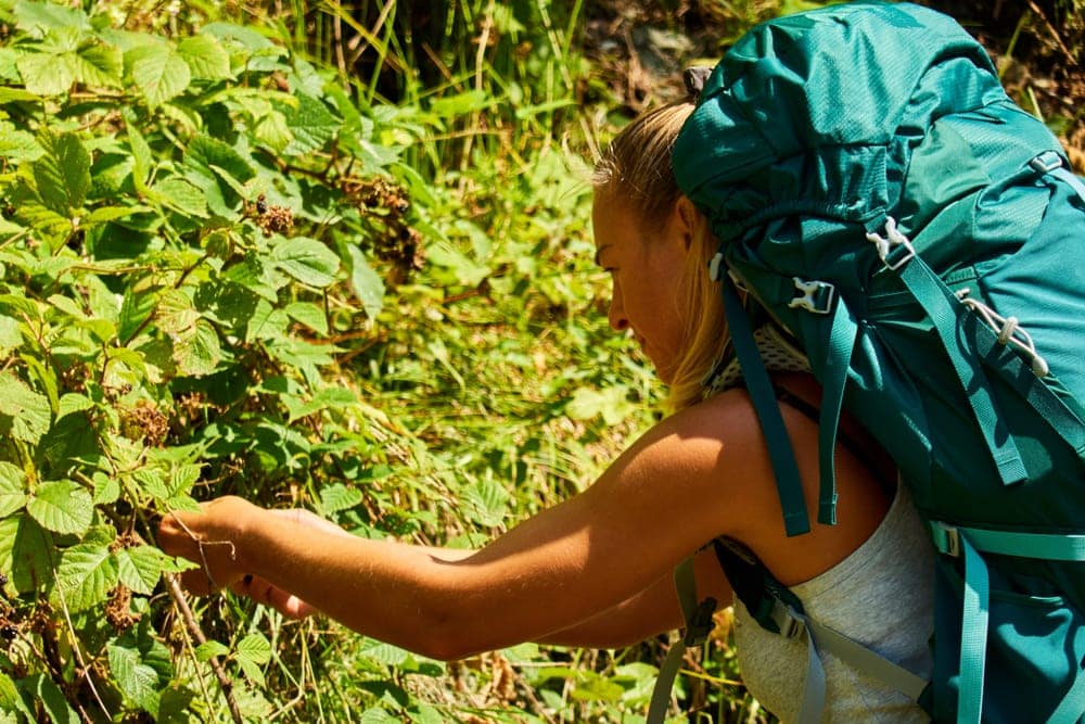 A backpacker foraging some berries in the wild.