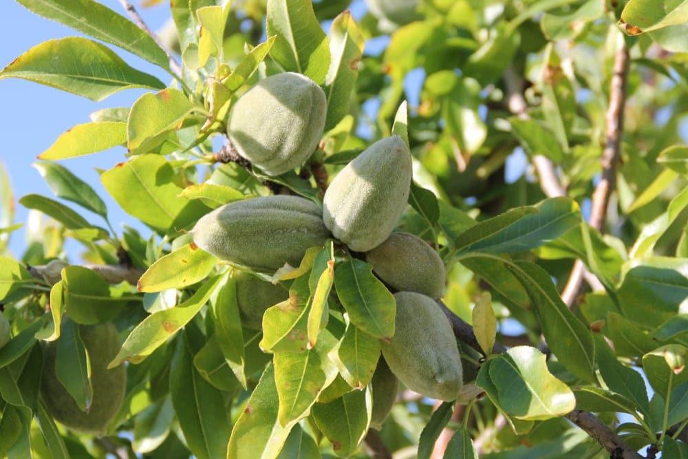 Bitter almonds (Prunus dulcis var. amara)
