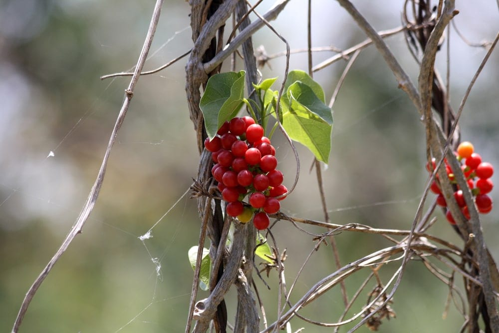 Canada moonseed (Menispermum canadense)
