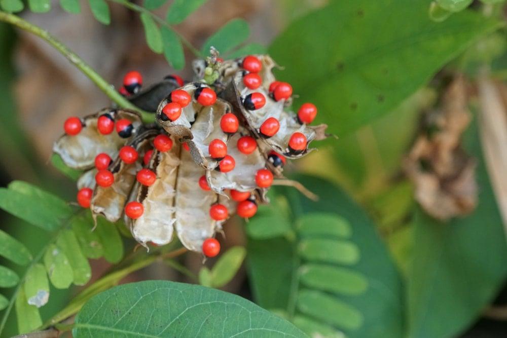 Rosary peas, or jequirity beans (Abrus precatorius)