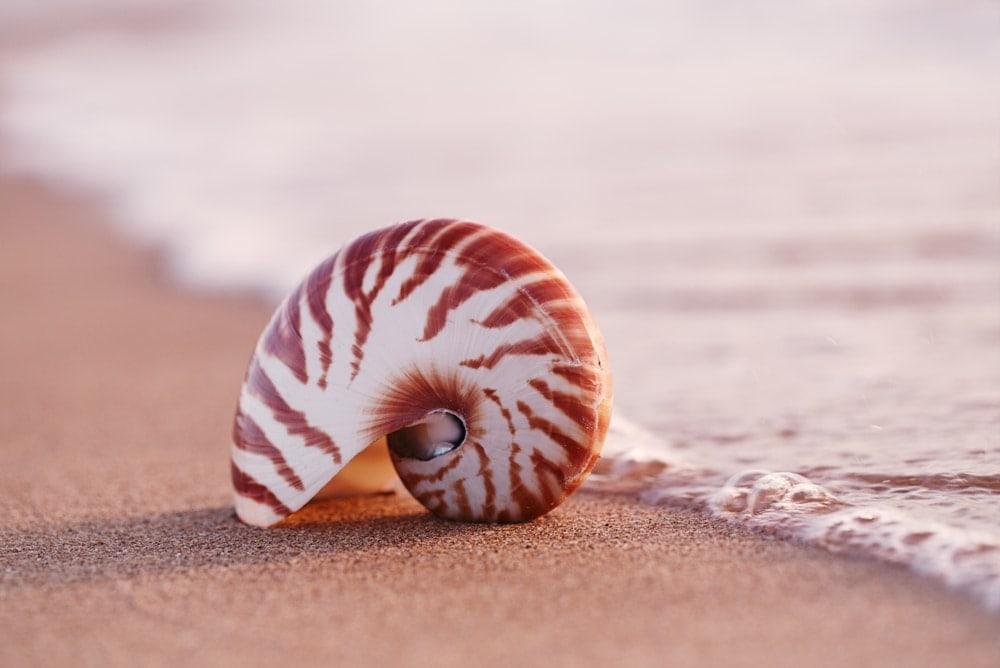 naitulus species under cephalopoda