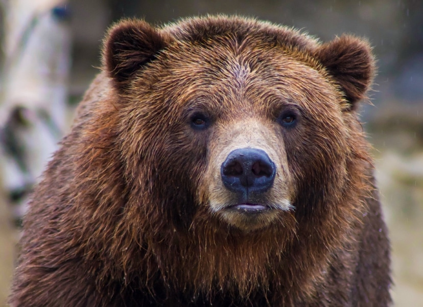 Photo of a brown bear