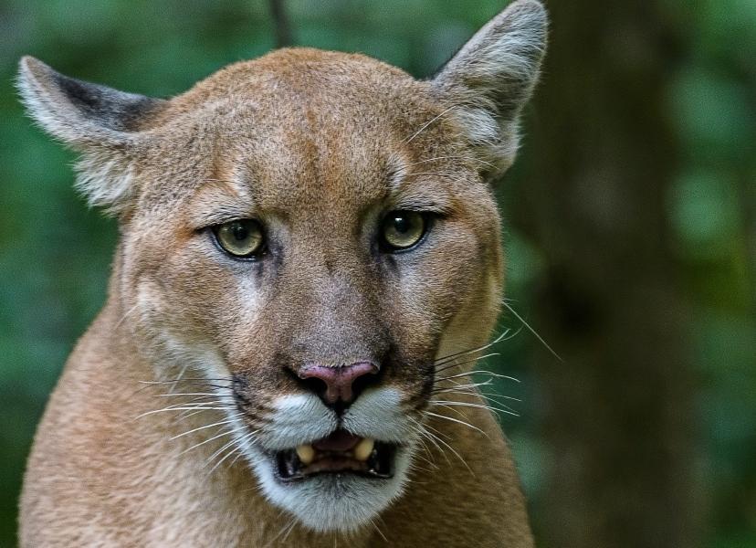 Foto de cougar