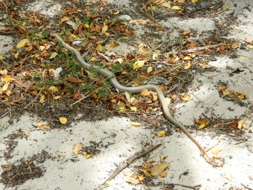 Antiguan racer snake