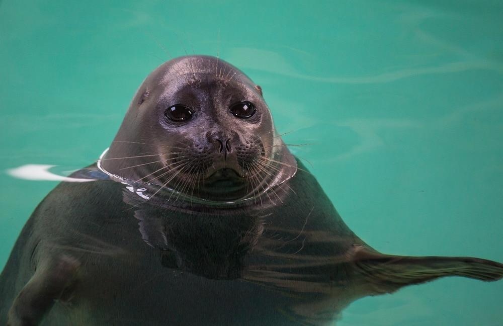 Baikal seal(Pusa sibirica)