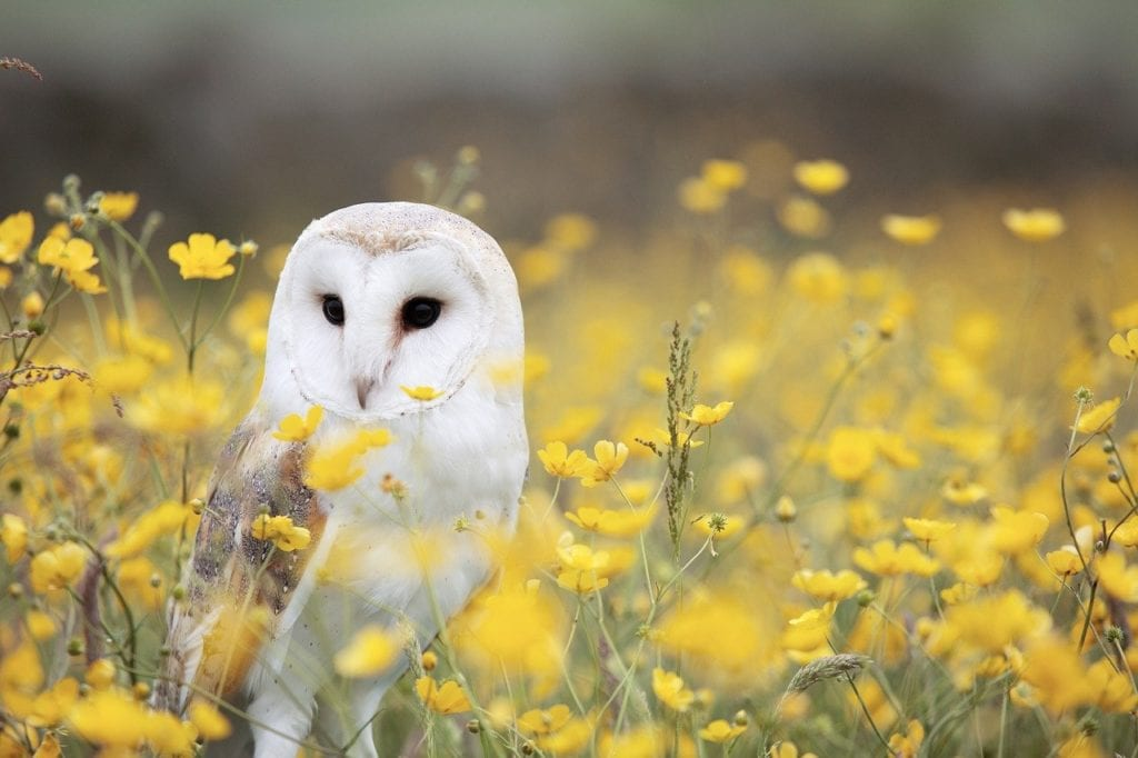 Barn Owls - Family Tytonidae