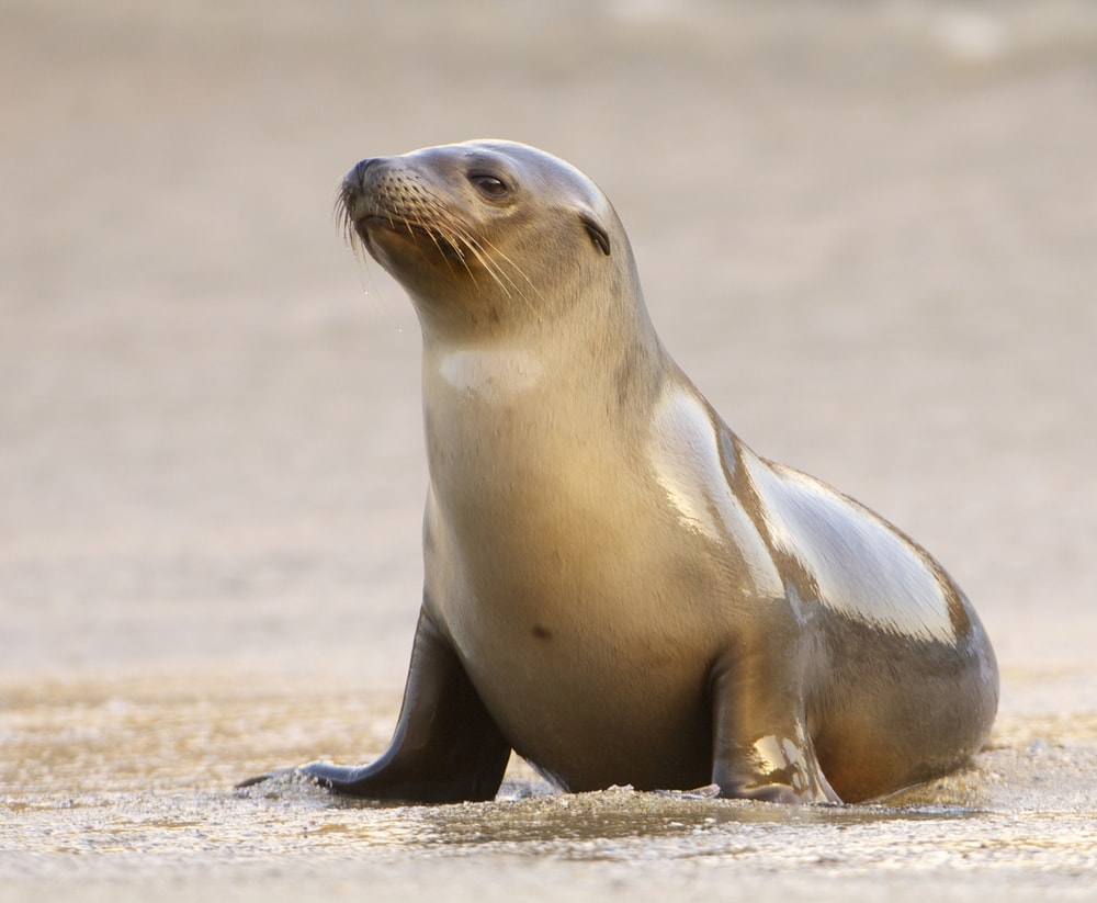 California sea lion(Zalophus californianus)