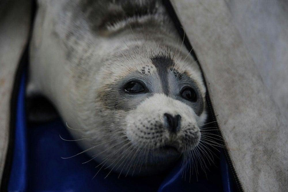 Caspian seal(Pusa caspica)