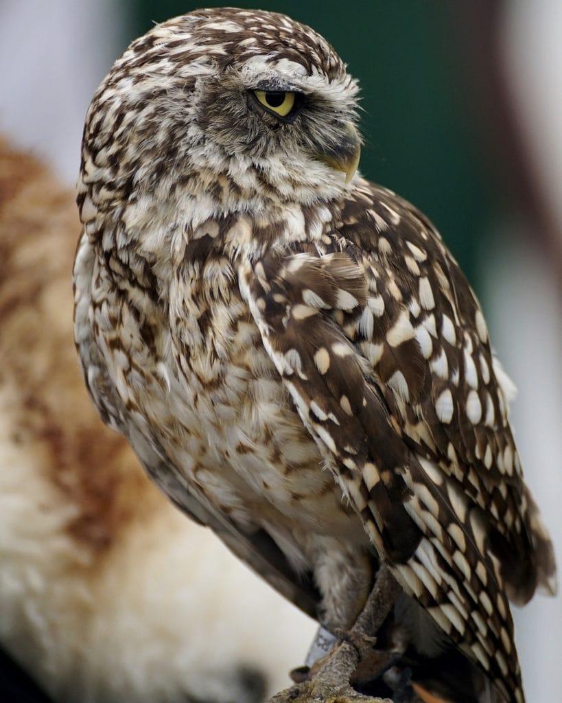 Elf Owls - Genus Micrathene