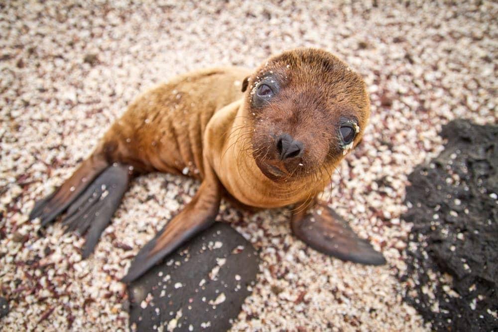 Galápagos fur seal(Arctocephalus galapagoensis)