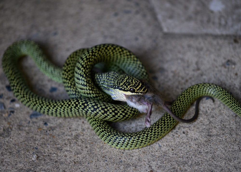 Golden Flying Snake