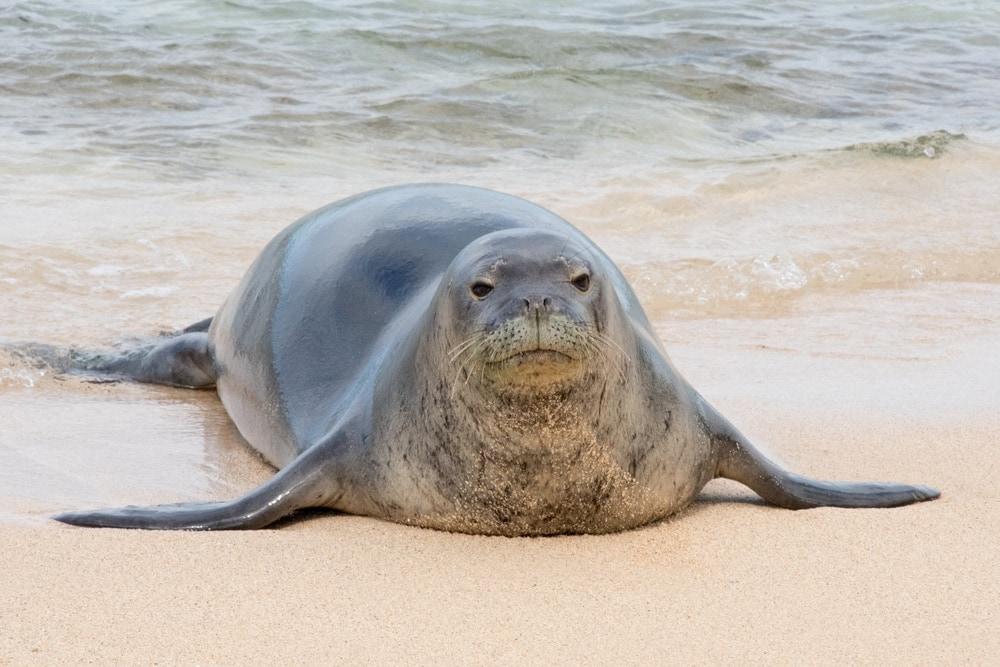 Hawaiian monk seal(Neomonachus schauinslandi)