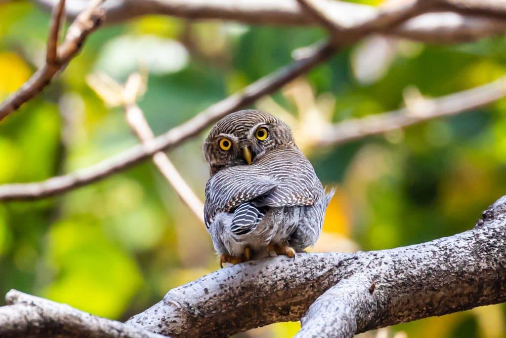 Jungle Owlet (Glaucidium radiatum) aka Barred Jungle owlet