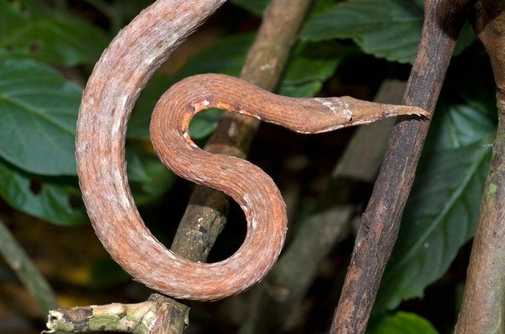 Malagasy leaf nosed snake