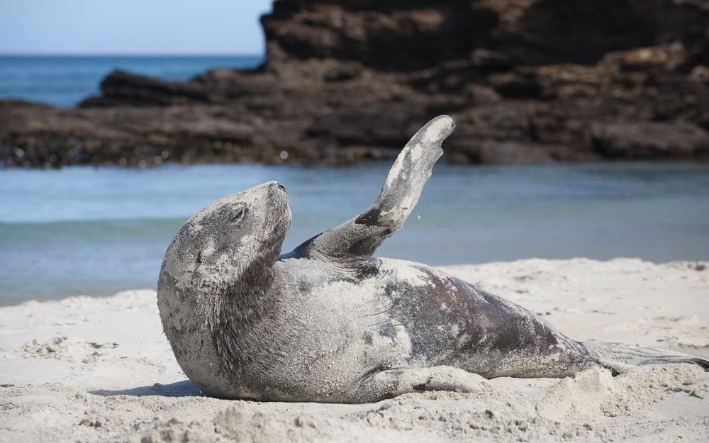 New Zealand sea lion(Phocarctos hookeri)