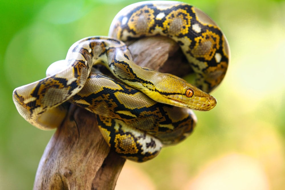Yellow reticulated python in a branch