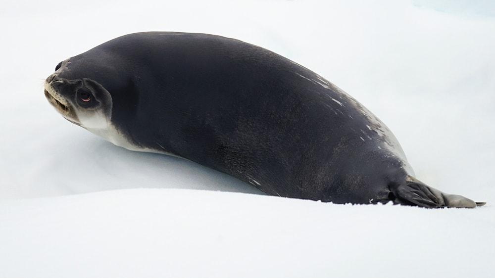 Ross seal(Ommatophoca rossi)