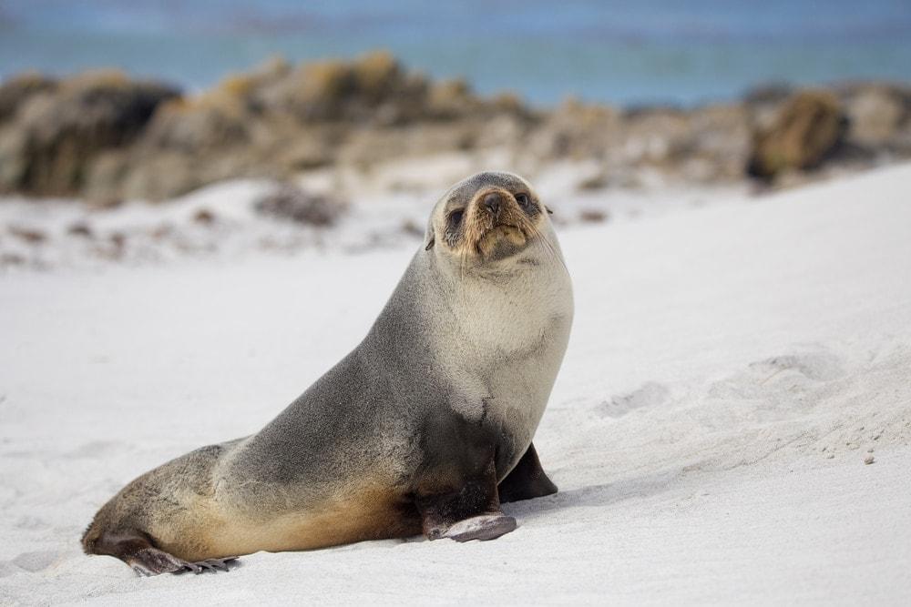 South American fur seal(Arctocephalus australis)