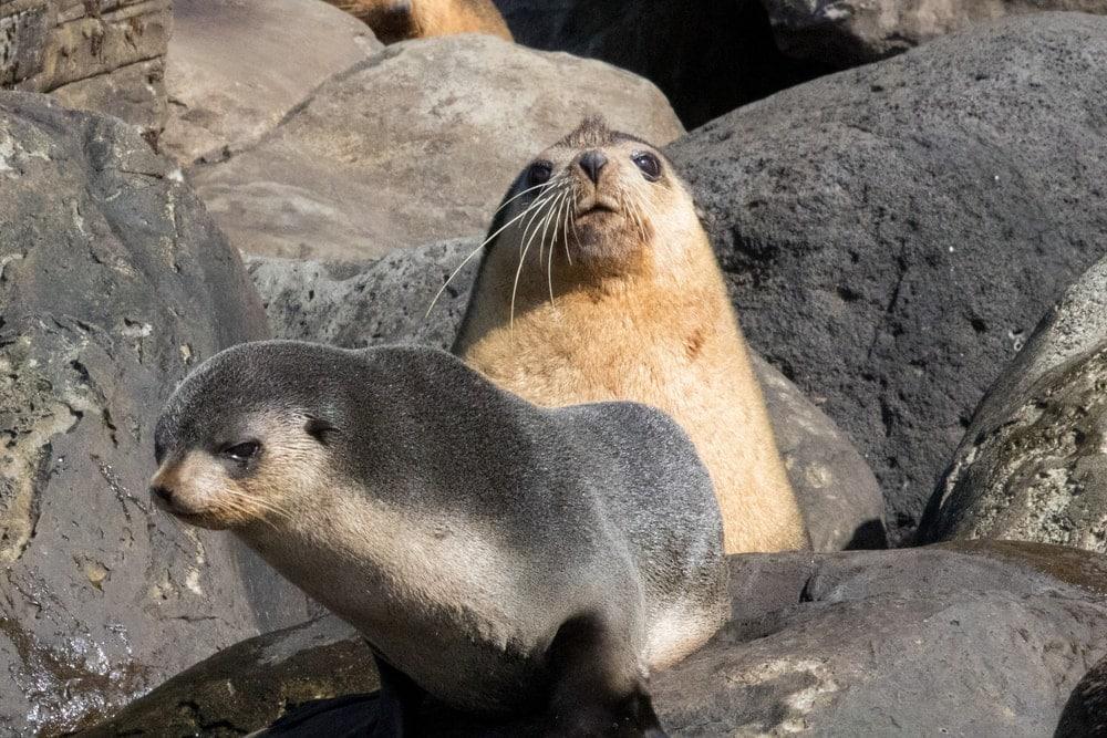 Subantarctic fur seal(Arctocephalus tropicalis)