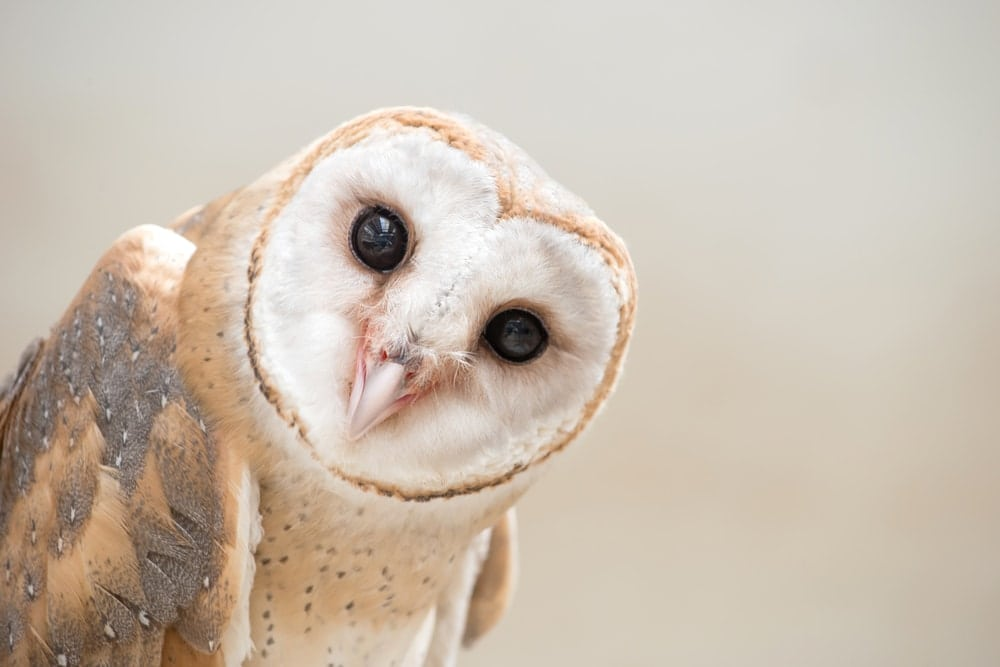 a close up photo of a white barn owl