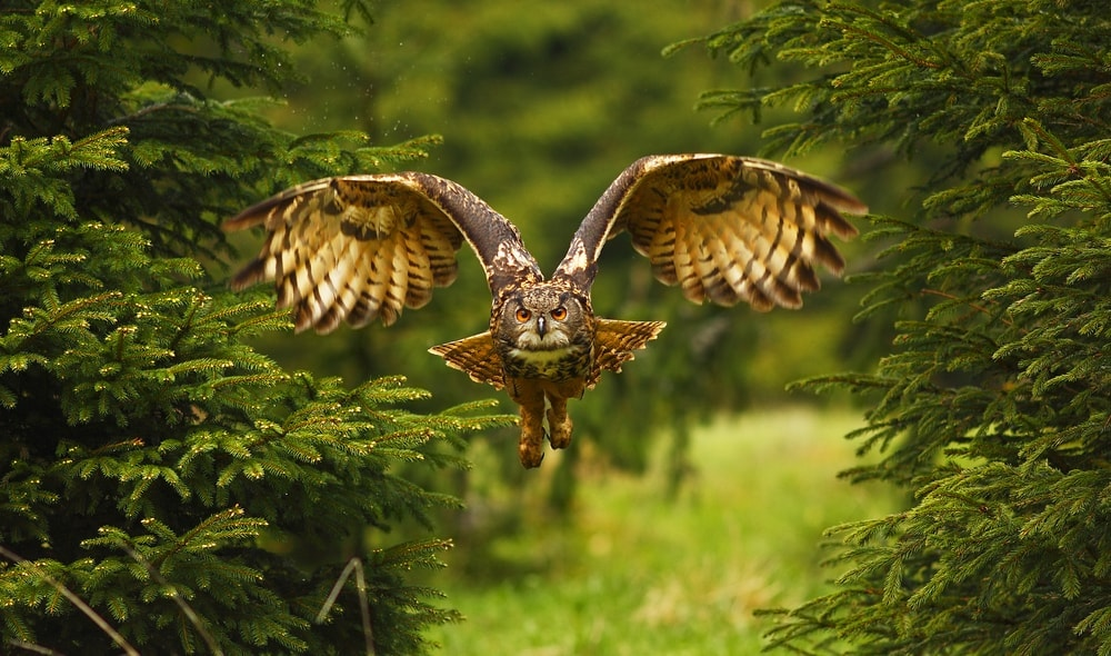 Big brown owl flying in the forest