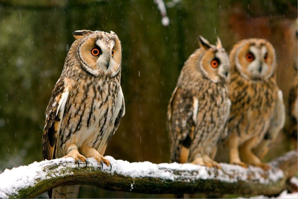 Types of owls from strigidae family on a snowy tree branch