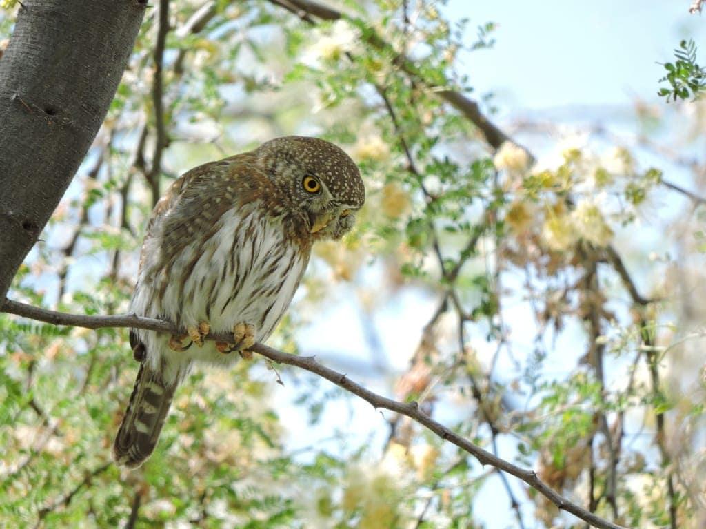 Baja Pygmy-Owl (Glaucidium hoskinsii) aka Capy Pygmy-Owl
