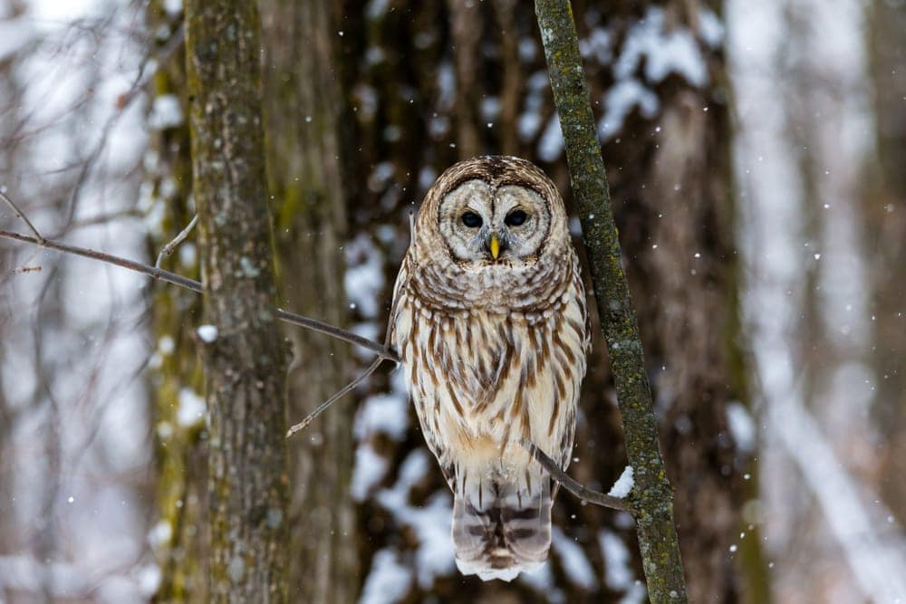 Barred Owl (Strix varia) also known as hoot owl